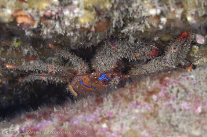 Spiny squat lobster. North Wales. D3, 105mm. by Derek Haslam 